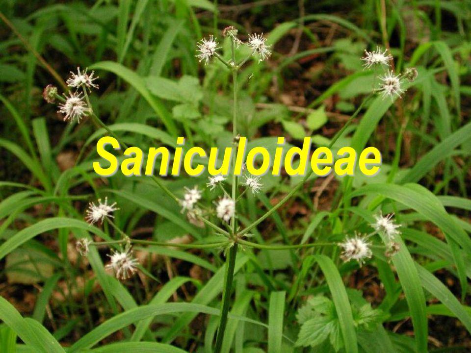 Saniculoideae