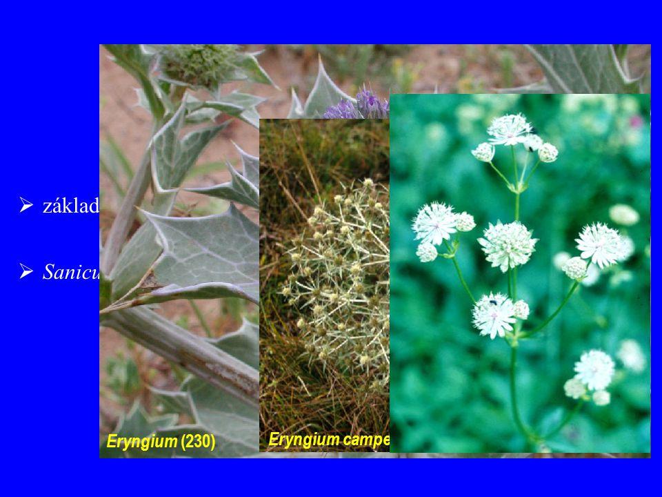  Sanicula europaea Saniculoideae  základní okolíky ± netvoří složený okolík Eryngium (230) Eryngium campestre