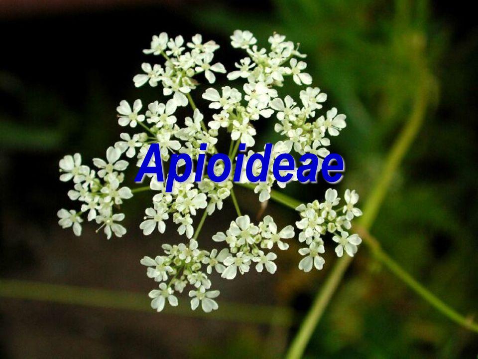Apioideae