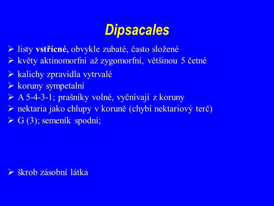 Dipsacales  listy vstřícné, obvykle zubaté, často složené  květy aktinomorfní až zygomorfní, většinou 5 četné  koruny sympetalní  A 5-4-3-1; prašníky volné, vyčnívají z koruny  nektaria jako chlupy v koruně (chybí nektariový terč)  G (3); semeník spodní;  škrob zásobní látka  kalichy zpravidla vytrvalé