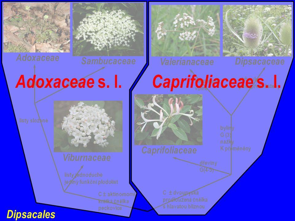 Dipsacales C ± aktinomorní krátká čnělka peckovice C ± dvoupyská prodloužená čnělka s hlavatou bliznou Caprifoliaceae Dipsacaceae Valerianaceae dřeviny G(4-5) byliny G (3) nažky K přeměněný květenství volné strbouly podepřené listeny listy jednoduché jediný funkční plodolist listy složené Viburnaceae Sambucaceae Adoxaceae dřevinybyliny Caprifoliaceae s.