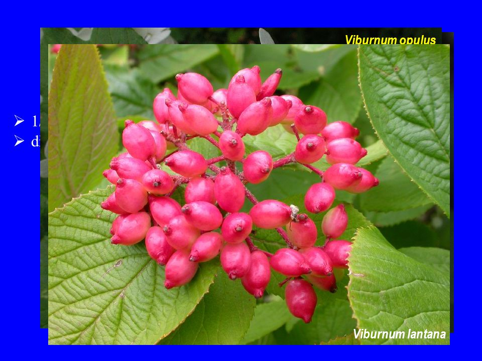  dřeviny  1/120; severní mírný pás Viburnaceae Viburnum opulus Viburnum lantana