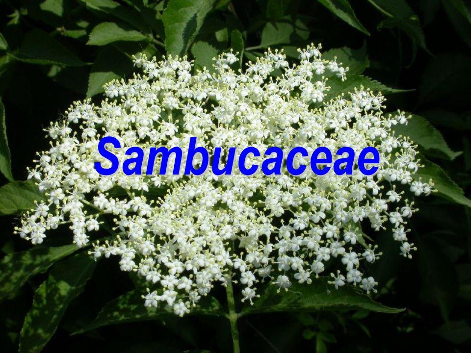 Sambucaceae