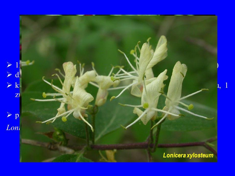 Caprifoliaceae  12/330; převážně severní mírný pás a hory tropů (chybí v Africe)  dřeviny  květy zřetelně zygomorfní; 4 petaly srostlé do horního pysku, 1 zůstává v dolním  plody bobule (tobolky a nažky) Lonicera nigra Lonicera xylosteum