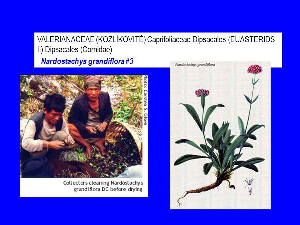 VALERIANACEAE (KOZLÍKOVITÉ) Caprifoliaceae Dipsacales (EUASTERIDS II) Dipsacales (Cornidae) Nardostachys grandiflora #3