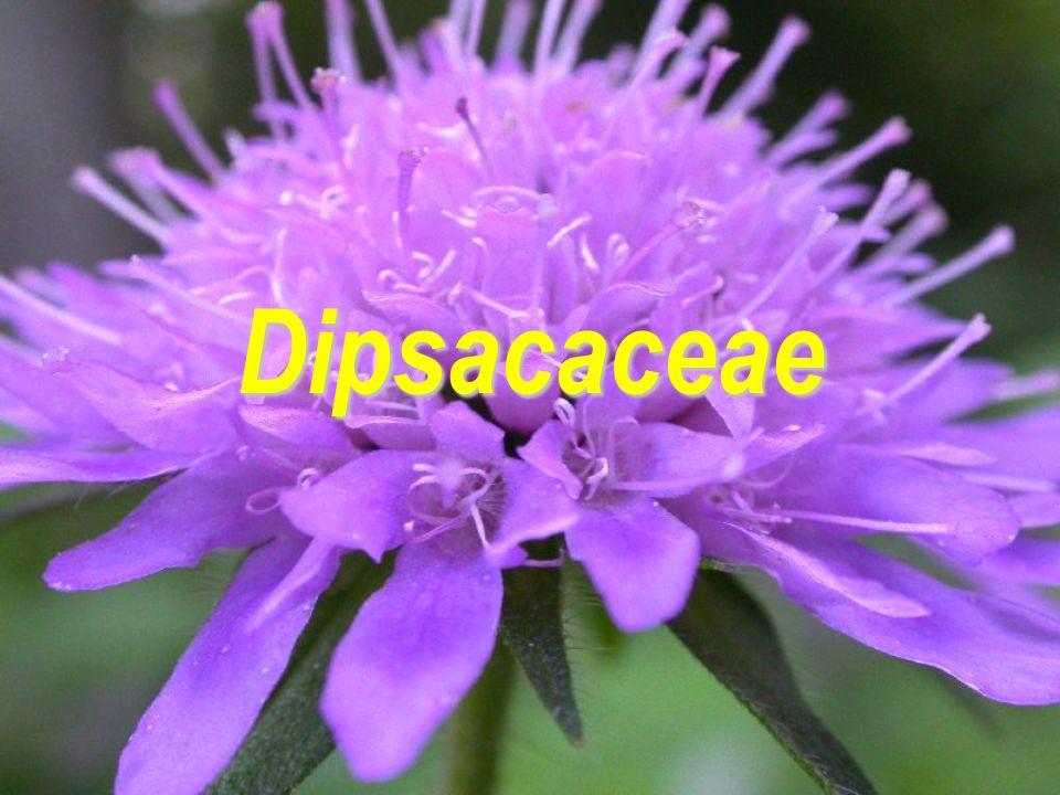 Dipsacaceae