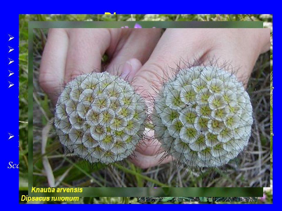 """Dipsacaceae  14/150; především mírný pás Eurasie a střední a jižní Afrika  byliny Scabiosa ochroleuca  květenství strboulovitá, pseudanthiového charakteru; zákrovy  květy slabě zygomorfní; petaly výrazně srostlé  K často přeměněný na létací nebo zachytávací zařízení (chmýr, ostny); """"vnější kalich  plody jednosemenné nažky se zachovaným """"vnějším kalichem vyniklým z listenů Dipsacus fullonum Succisa pratensis Knautia arvensis"""