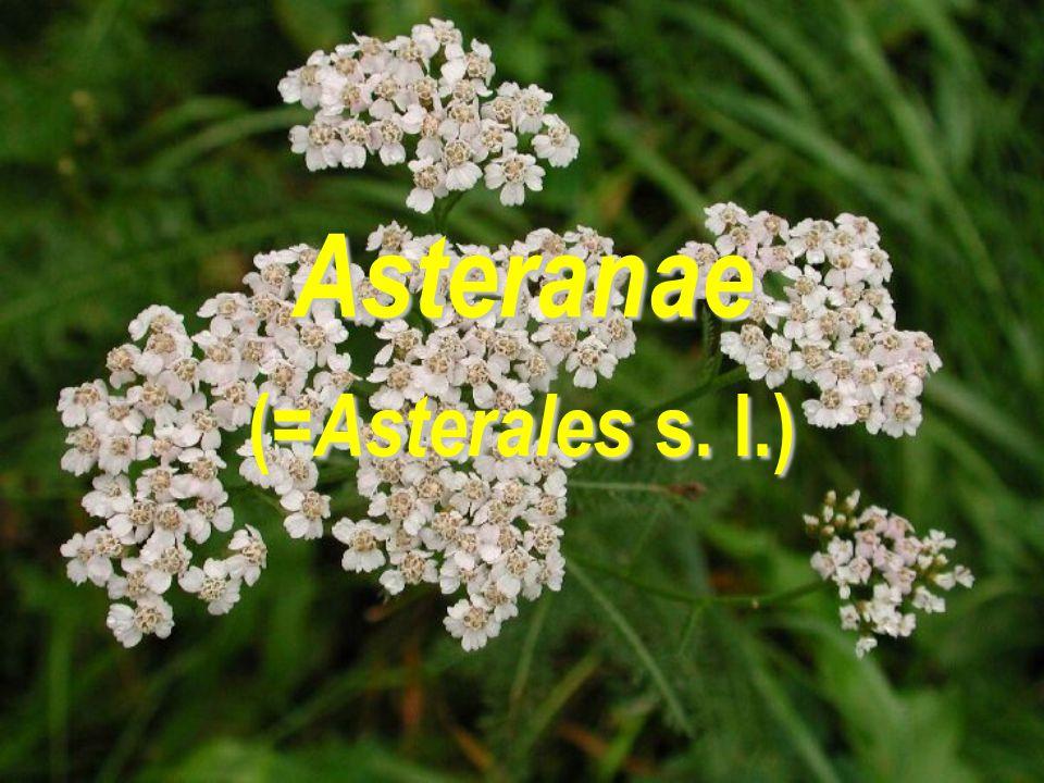 Asteranae ( =Asterales s. l.)