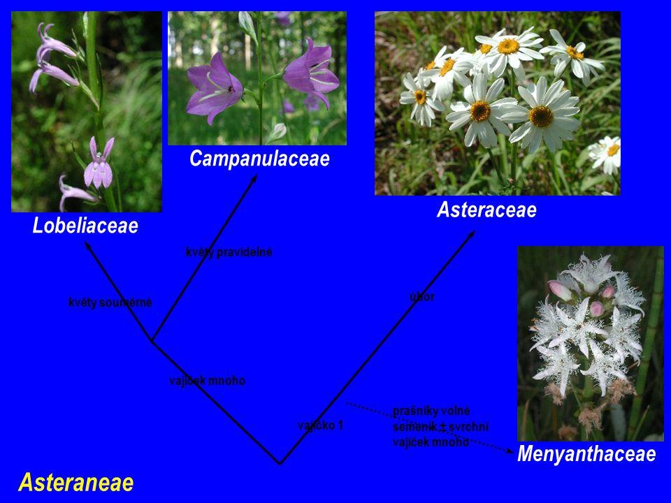 Asteraneae vajíček mnoho vajíčko 1 prašníky volné semeník ± svrchní vajíček mnoho květy pravidelné květy souměrné Lobeliaceae Campanulaceae Asteraceae Menyanthaceae úbor