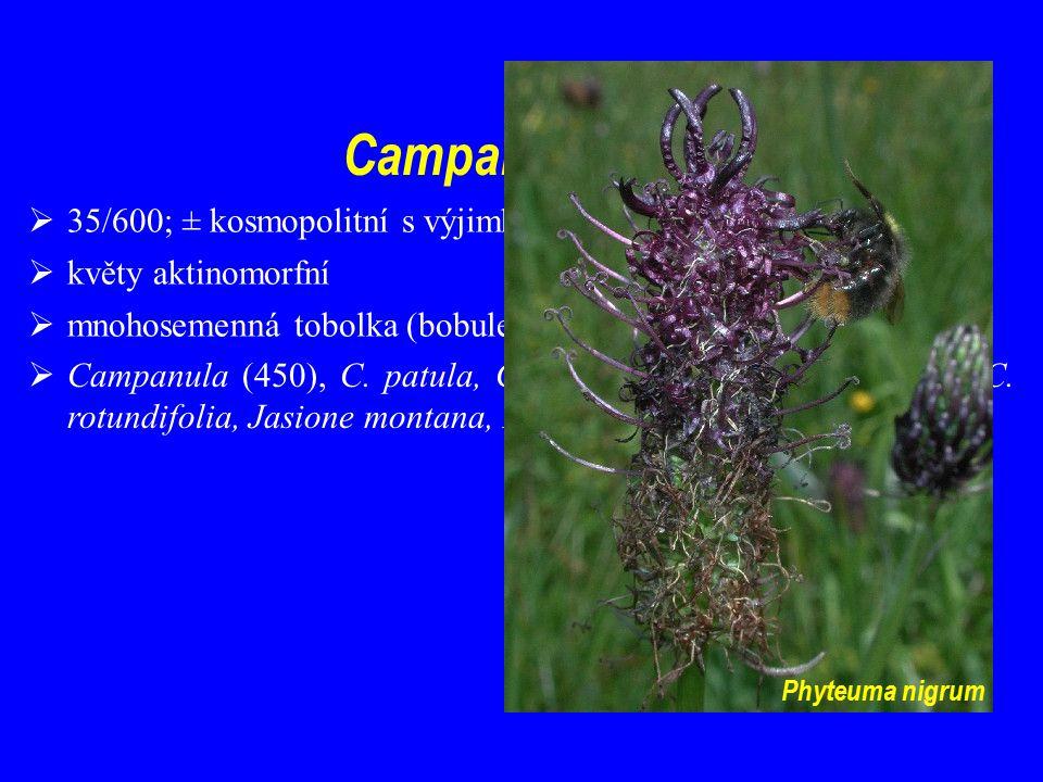 Campanulaceae  35/600; ± kosmopolitní s výjimkou tropické Afriky  květy aktinomorfní  mnohosemenná tobolka (bobule)  Campanula (450), C.