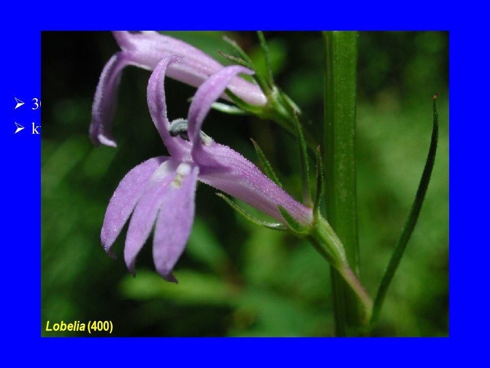 Lobeliaceae  30/1200; centrum diverzity zejména v Americe a v tropech  květy zygomorfní Lobelia (400)