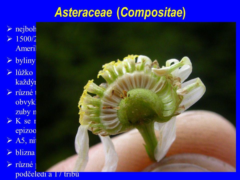  nejbohatší a nejrozšířenější čeleď krytosemenných; aktivní evoluce  blizna dvouramenná, na čnělce štětinky  1500/22000; kosmopolitní, pravděpodobný vznik v jižní části jižní Ameriky  lůžko úboru může být různého tvaru s plevkami (listeny pod každým květem) i bez nich  různé typy květů v úboru (jazykovité a trubkovité); květy trubkovité obvykle oboupohlavné pětičetné; jazykovité oboupohlavné (s 5 zuby na konci) i pouze samičí (se 3 zuby na konci)  K se mění na chmýr či jiné struktury k rozšiřování (anemochorie, epizoochorie)  A5, nitky volné, prašníky kutikulou spojeny v trubičku; protandrie  různé pohledy na členění - dnes se jeví jako správné rozdělení na 3 podčeledi a 17 tribů  byliny převažují, vzácně dřeviny (Senecio)