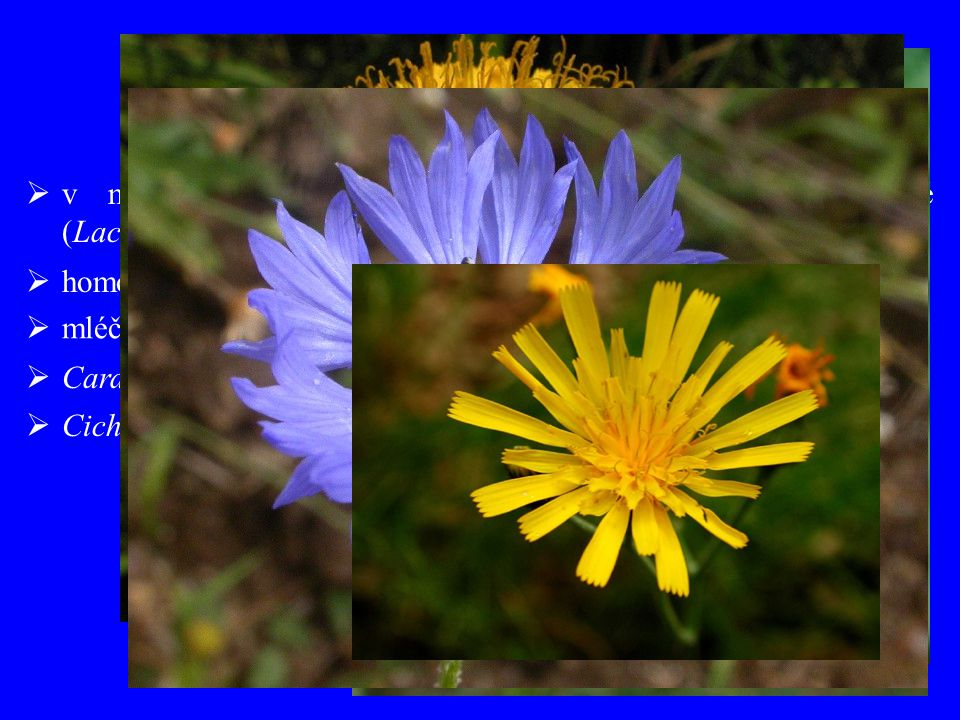 " mléčnice  Carduus (90), Cirsium (270), Arctium (11), Centaurea (600),  Cichorium (7), Hieracium (500), Taraxacum (?), Leontodon (50)  v minulosti odlišné vymezení všechny květy jazykovité (Lactucoideae, Liguliflorae) ""Cichorioideae  homogamní úbory"