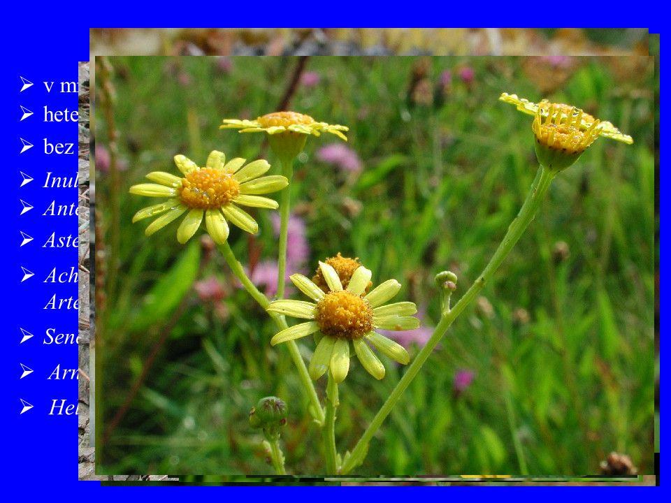  Achillea (115), Chamomilla + Matricaria (7), Leucanthemum (33), Artemisia (400)  Senecio (1500), Doronicum (40), Petasites (20), Tussilago (1) Asteroideae  heterogamní úbory  bez výrazných mléčnic  v minulosti odlišné vymezení (Tubuliflorae)  Inula (90), Filago (30)  Aster (250), Bellis (8), Erigeron (200), Solidago (150)  Arnica (32)  Helianthus (110), Bidens (200), Galinsoga (13)  Antennaria (100), Gnaphalium (150), Helichrysum (500)