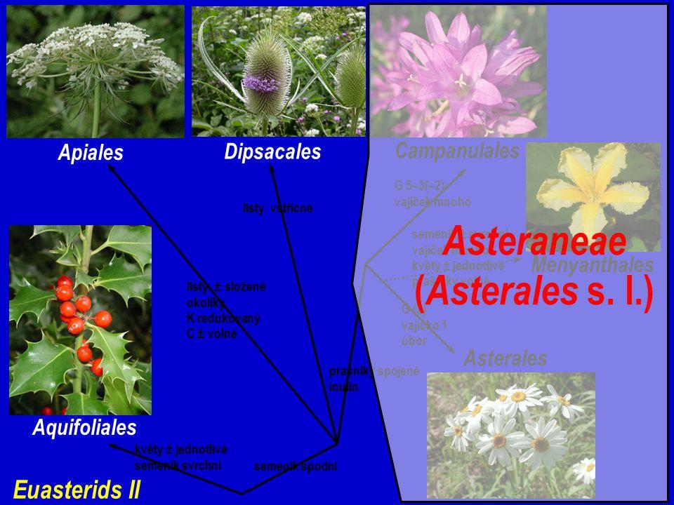 Euasterids II Aquifoliales květy ± jednotlivé semeník svrchní semeník spodní Apiales Dipsacales Campanulales Asterales Menyanthales semeník ± svrchní vajíček mnoho květy ± jednotlivé prašníky volné G (2) vajíčko 1 úbor G 5–3(–2) vajíček mnoho listy ± složené okolíky K redukovaný C ± volné listy vstřícné prašníky spojené inulin Asteraneae ( Asterales s.