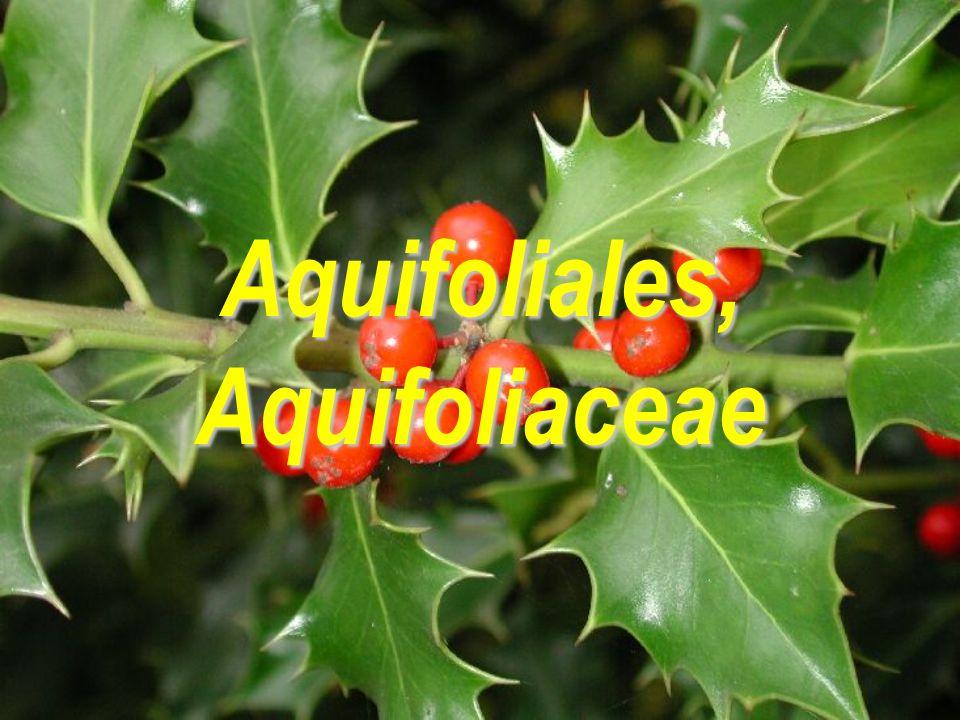 Aquifoliales, Aquifoliaceae