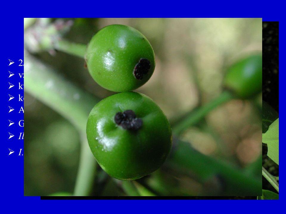  I. paraquariensis (jižní Amerika, čaj maté) Aquifoliales, Aquifoliaceae  2/600  květy čtyřčetné, často jednopohlavné  vždyzelené dřeviny  koruny