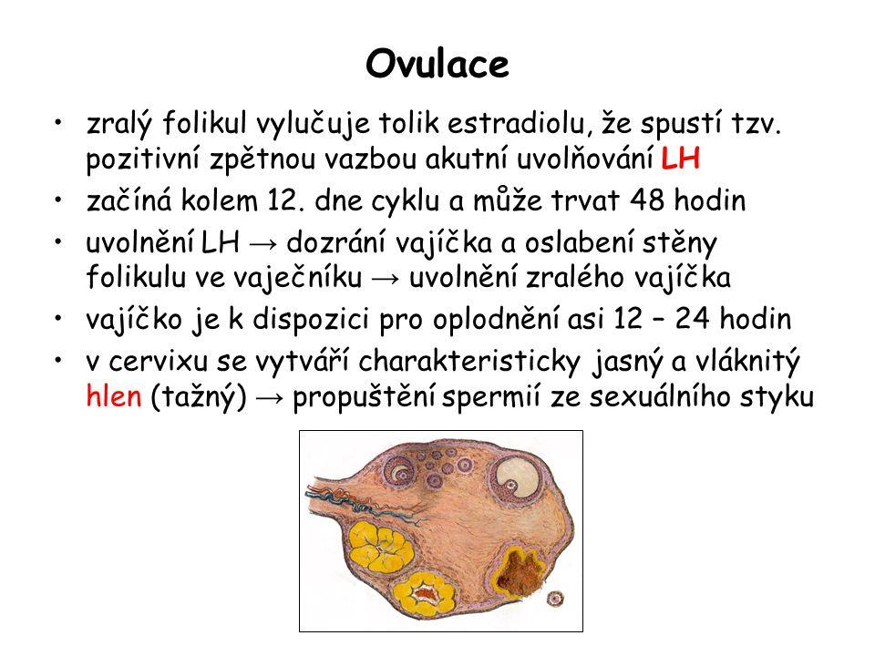 Ovulace zralý folikul vylučuje tolik estradiolu, že spustí tzv. pozitivní zpětnou vazbou akutní uvolňování LH začíná kolem 12. dne cyklu a může trvat