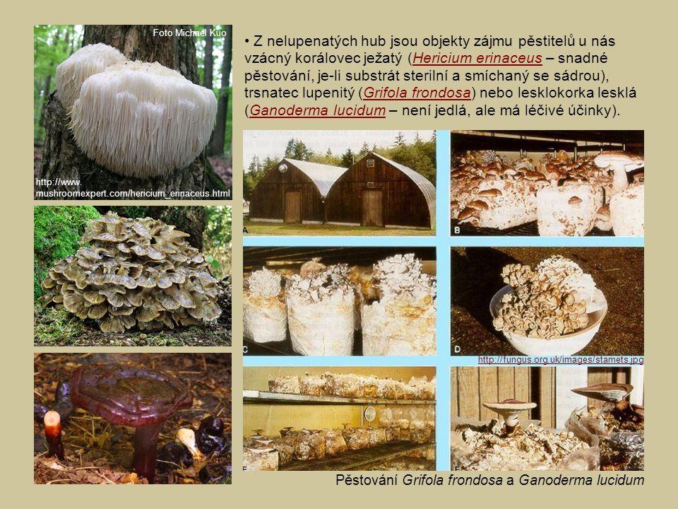 Z nelupenatých hub jsou objekty zájmu pěstitelů u nás vzácný korálovec ježatý (Hericium erinaceus – snadné pěstování, je-li substrát sterilní a smícha
