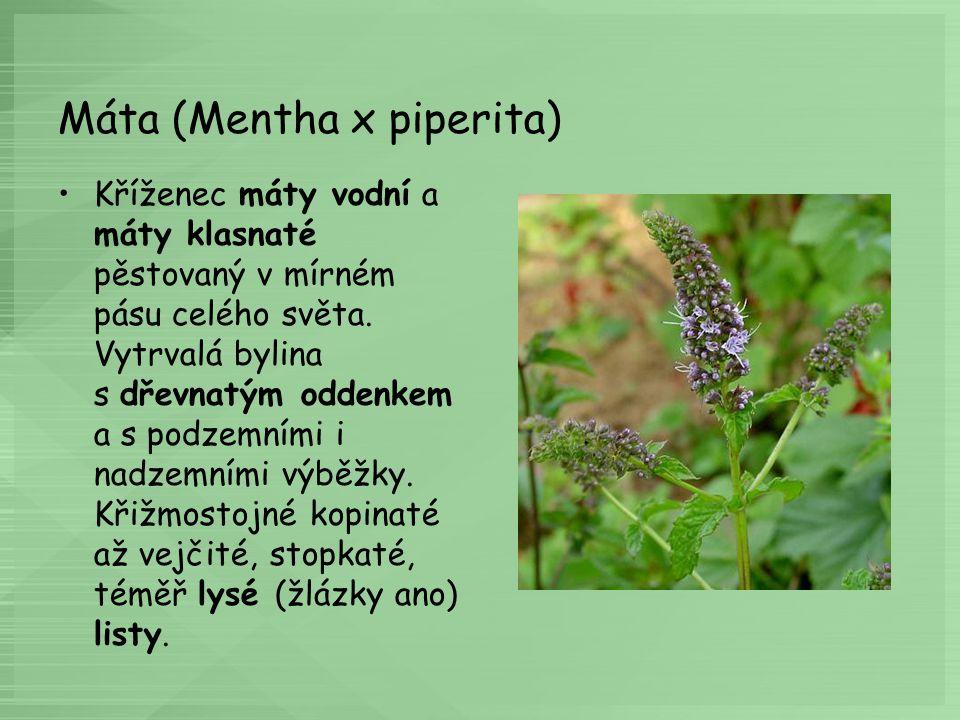 Máta (Mentha x piperita) Kříženec máty vodní a máty klasnaté pěstovaný v mírném pásu celého světa. Vytrvalá bylina s dřevnatým oddenkem a s podzemními
