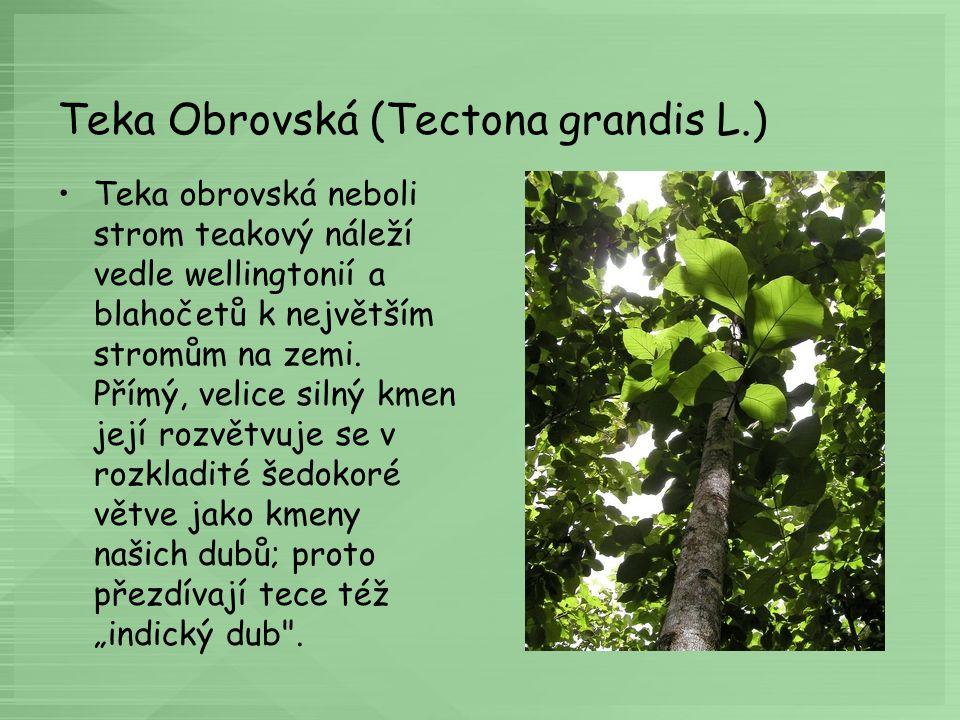 Teka Obrovská (Tectona grandis L.) Teka obrovská neboli strom teakový náleží vedle wellingtonií a blahočetů k největším stromům na zemi. Přímý, velice