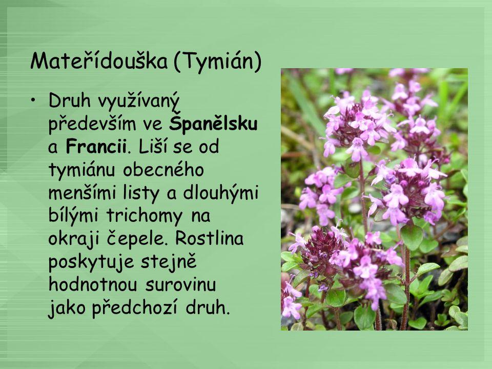 Rozmarýn lékařský (Rosmarinusofficinalis) Rozmarýn je stálezelený, až 2 m vysoký, výrazně vonící keř.