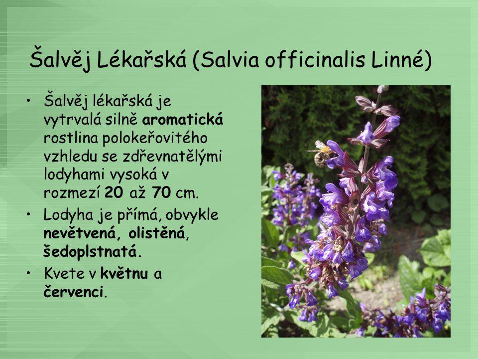 Šalvěj Lékařská (Salvia officinalis Linné) Šalvěj lékařská je vytrvalá silně aromatická rostlina polokeřovitého vzhledu se zdřevnatělými lodyhami vyso