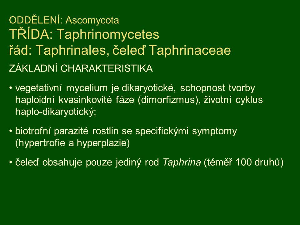 ODDĚLENÍ: Ascomycota TŘÍDA: Taphrinomycetes řád: Taphrinales, čeleď Taphrinaceae ZÁKLADNÍ CHARAKTERISTIKA vegetativní mycelium je dikaryotické, schopn
