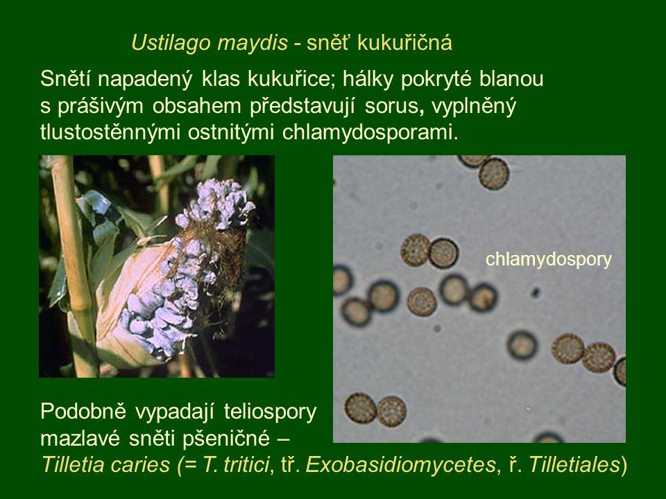 Ustilago maydis - sněť kukuřičná Snětí napadený klas kukuřice; hálky pokryté blanou s prášivým obsahem představují sorus, vyplněný tlustostěnnými ostn
