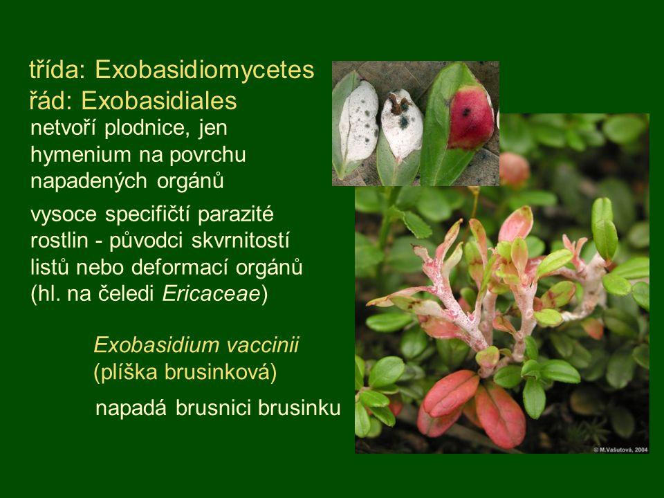 třída: Exobasidiomycetes řád: Exobasidiales netvoří plodnice, jen hymenium na povrchu napadených orgánů vysoce specifičtí parazité rostlin - původci s
