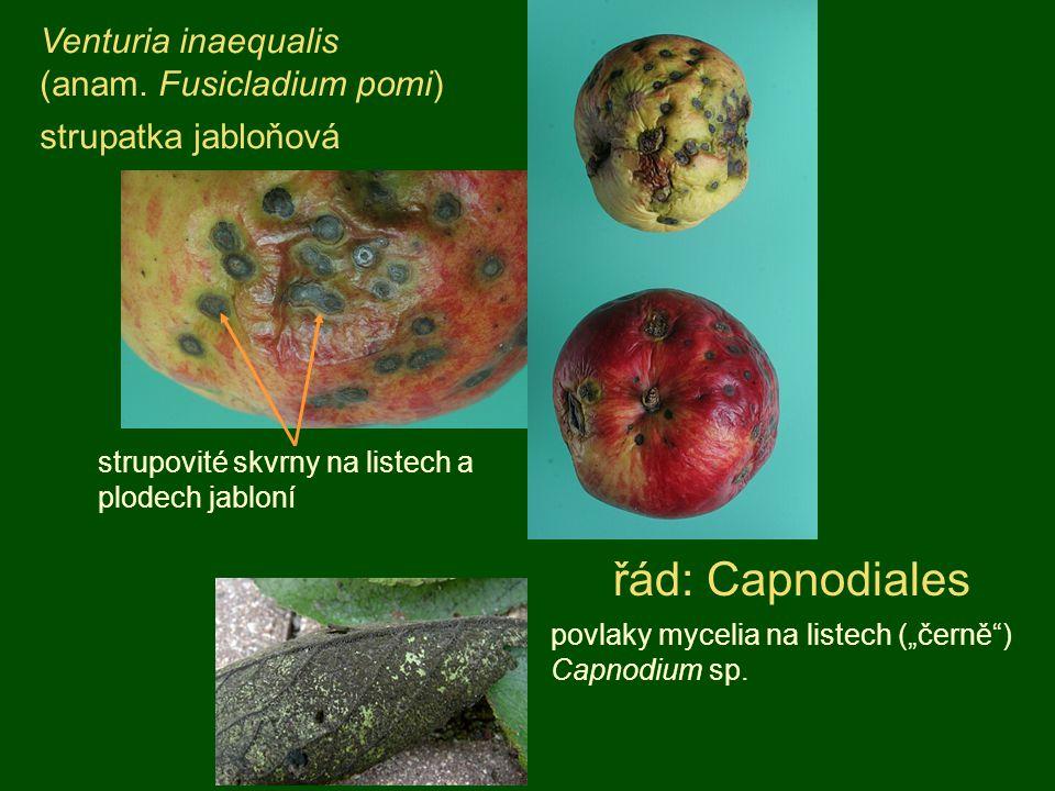 Venturia inaequalis (anam. Fusicladium pomi) strupatka jabloňová strupovité skvrny na listech a plodech jabloní řád: Capnodiales povlaky mycelia na li