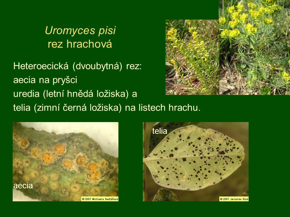 Heteroecická (dvoubytná) rez: aecia na pryšci uredia (letní hnědá ložiska) a telia (zimní černá ložiska) na listech hrachu. Uromyces pisi rez hrachová