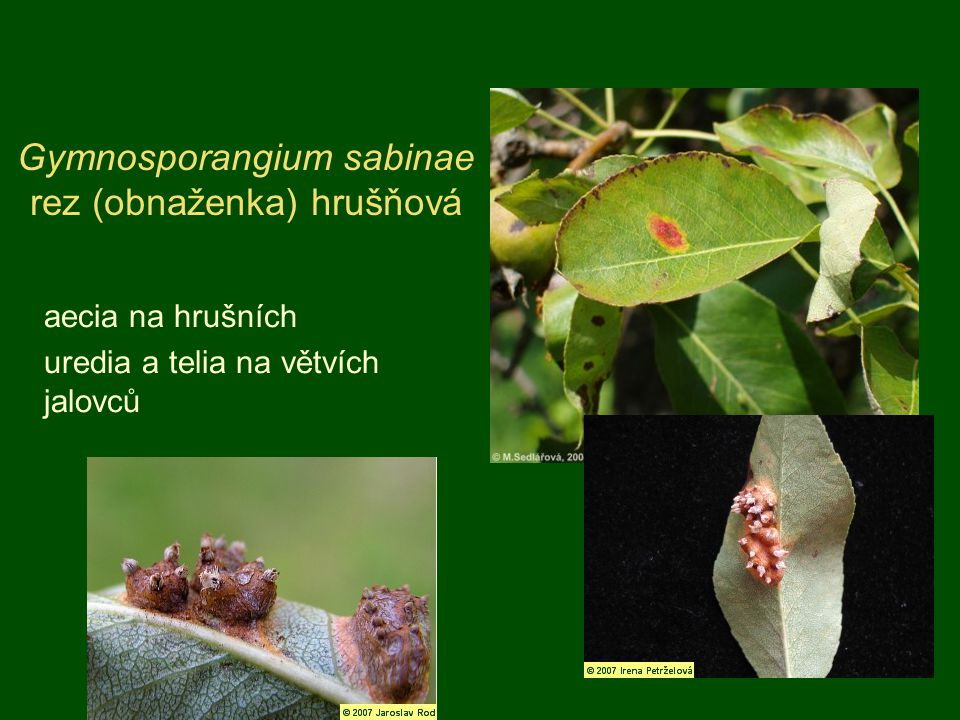 Gymnosporangium sabinae rez (obnaženka) hrušňová aecia na hrušních uredia a telia na větvích jalovců