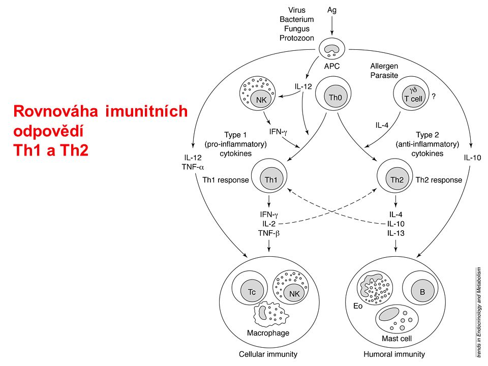 Rovnováha imunitních odpovědí Th1 a Th2
