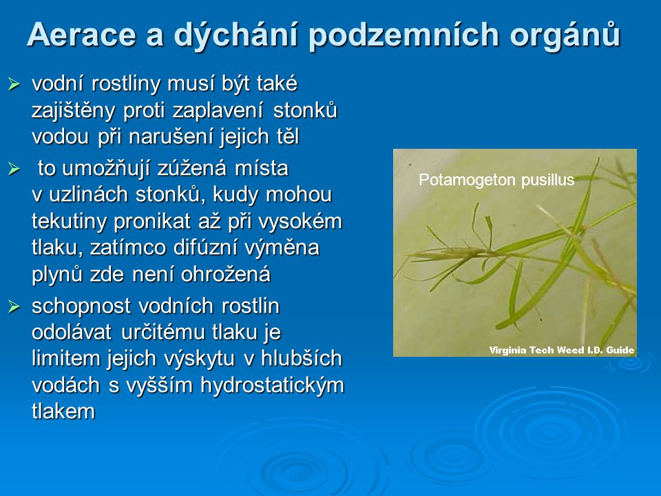 Aerace a dýchání podzemních orgánů  vodní rostliny musí být také zajištěny proti zaplavení stonků vodou při narušení jejich těl  to umožňují zúžená
