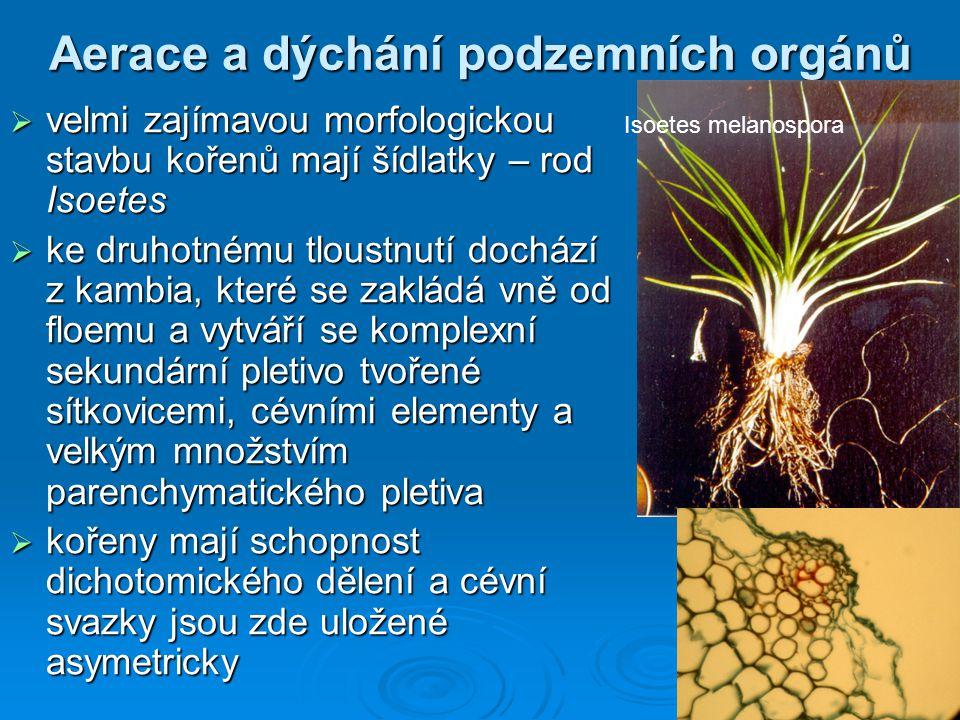 Aerace a dýchání podzemních orgánů  velmi zajímavou morfologickou stavbu kořenů mají šídlatky – rod Isoetes  ke druhotnému tloustnutí dochází z kamb