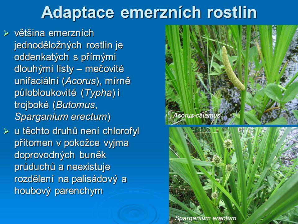 Adaptace emerzních rostlin  většina emerzních jednoděložných rostlin je oddenkatých s přímými dlouhými listy – mečovité unifaciální (Acorus), mírně p