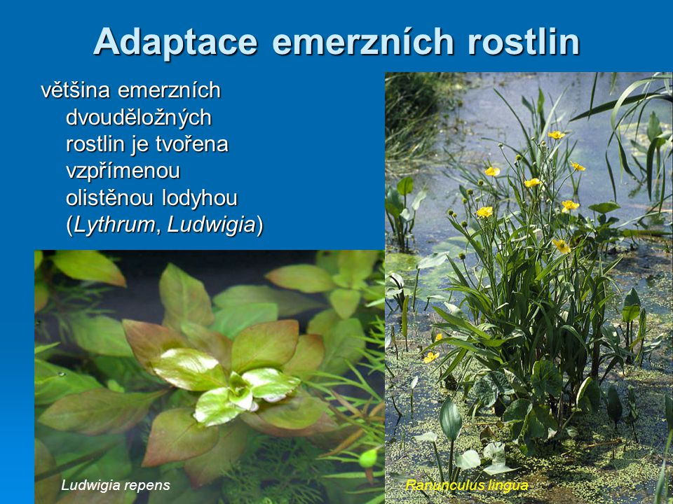 Adaptace emerzních rostlin většina emerzních dvouděložných rostlin je tvořena vzpřímenou olistěnou lodyhou (Lythrum, Ludwigia) Ranunculus linguaLudwig