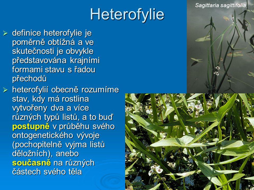 Heterofylie  definice heterofylie je poměrně obtížná a ve skutečnosti je obvykle představována krajními formami stavu s řadou přechodů  heterofylií