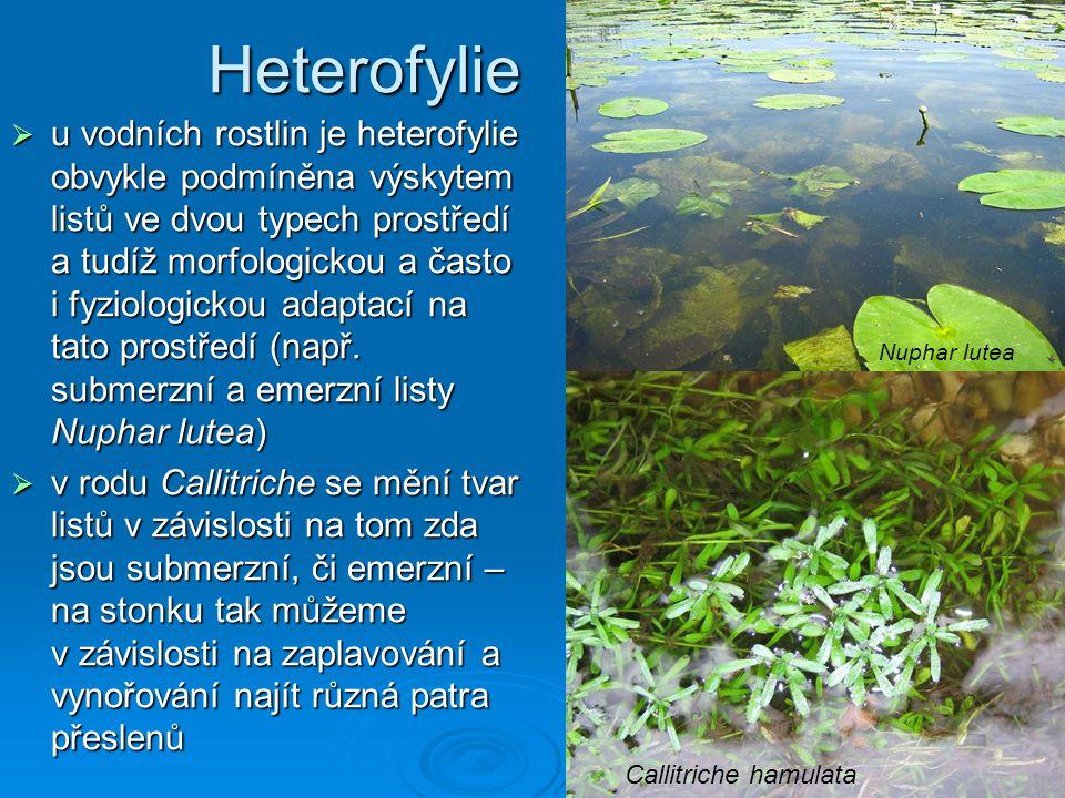  u vodních rostlin je heterofylie obvykle podmíněna výskytem listů ve dvou typech prostředí a tudíž morfologickou a často i fyziologickou adaptací na