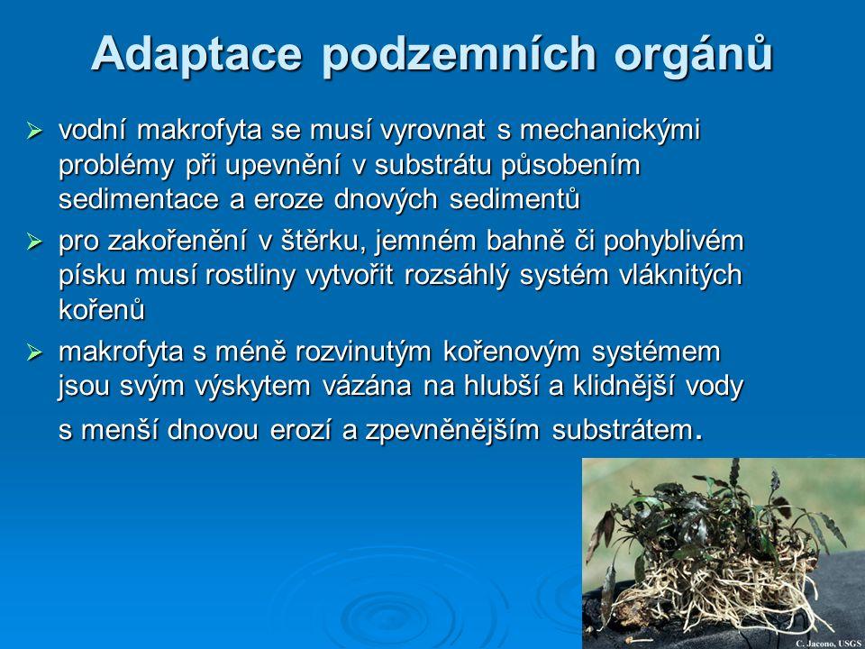 Adaptace podzemních orgánů  podzemní orgány jsou různého tvaru a původu, kořenové i stonkové (oddenky)  u mnoha druhů je nápadná jejich schopnost velmi rychlého růstu až v řádech metrů za rok – Phragmites communis, Glyceria maxima, Typha latifolia  podzemní orgány tvoří u vodních rostlin často významnou část biomasy celé rostliny:  Butomus umbellatus30%  Alisma plantago-aquatica40%  Typha45-60%  Equisetum fluviatile80%  Phragmites communis80% Phragmites communis Equisetum fluviatile