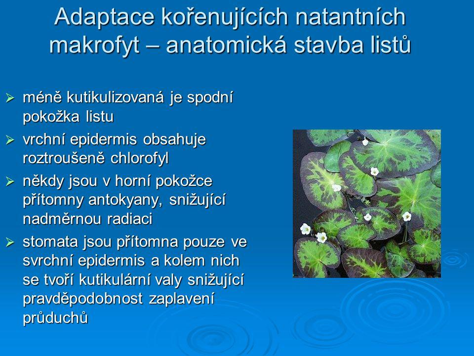 Adaptace kořenujících natantních makrofyt – anatomická stavba listů  méně kutikulizovaná je spodní pokožka listu  vrchní epidermis obsahuje roztrouš