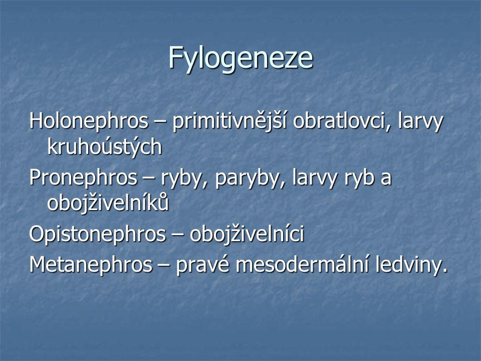 Fylogeneze Holonephros – primitivnější obratlovci, larvy kruhoústých Pronephros – ryby, paryby, larvy ryb a obojživelníků Opistonephros – obojživelníc