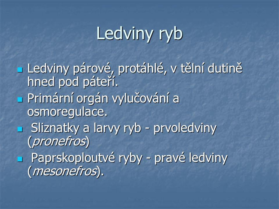Ledviny ryb Ledviny párové, protáhlé, v tělní dutině hned pod páteří. Ledviny párové, protáhlé, v tělní dutině hned pod páteří. Primární orgán vylučov