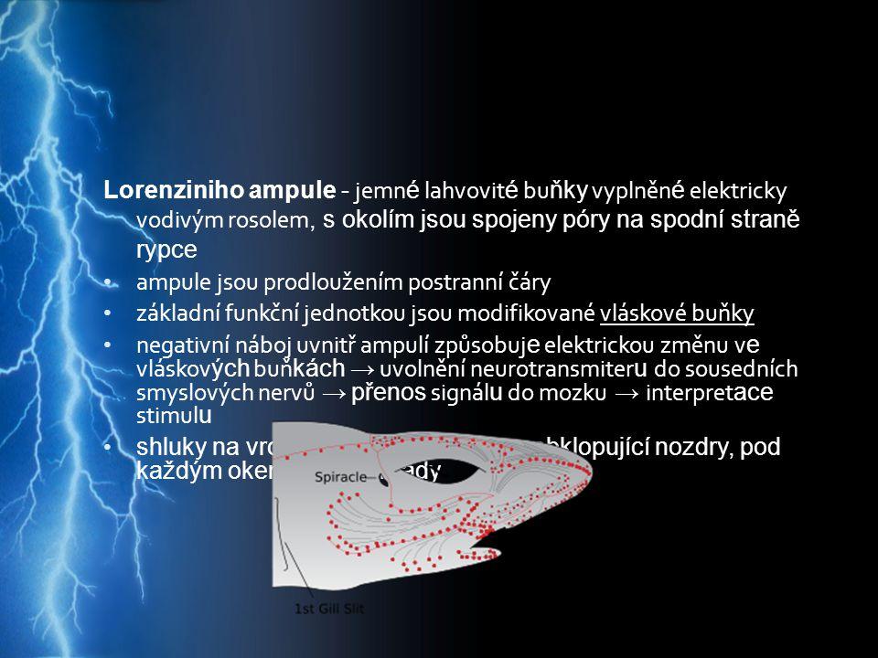 Lorenziniho ampule - jemn é lahvovit é bu ňky vyplněn é elektricky vodivým rosolem, s okolím jsou spojeny póry na spodní straně rypce ampule jsou prod