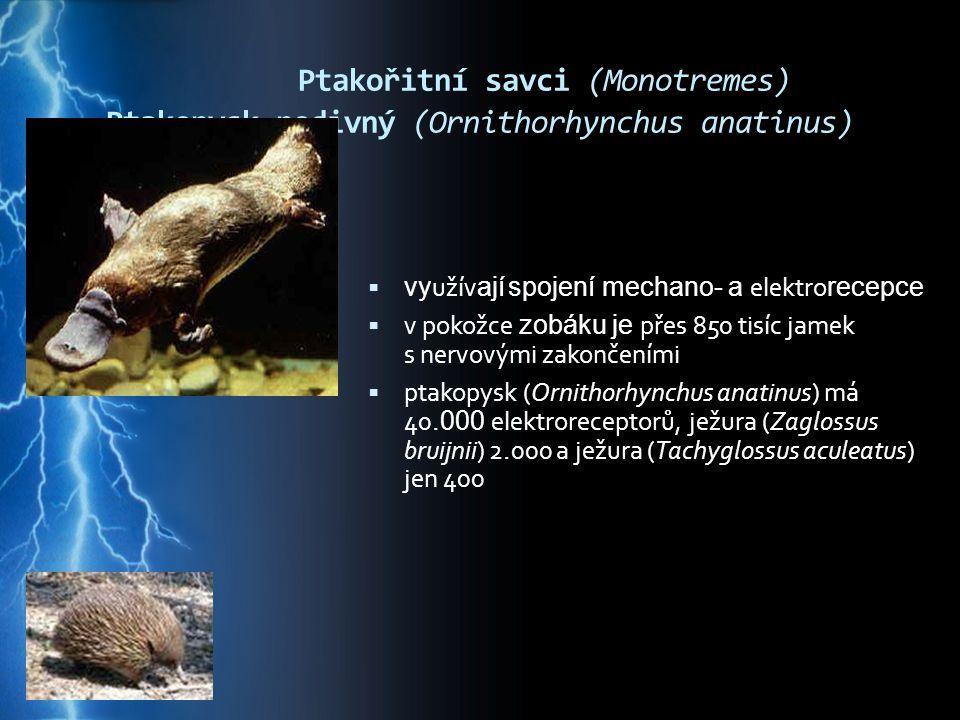 Ptakořitní savci (Monotremes) Ptakopysk podivný (Ornithorhynchus anatinus)  vy užív ají spojení mechano- a elektro recepce  v pokožce zobáku je přes