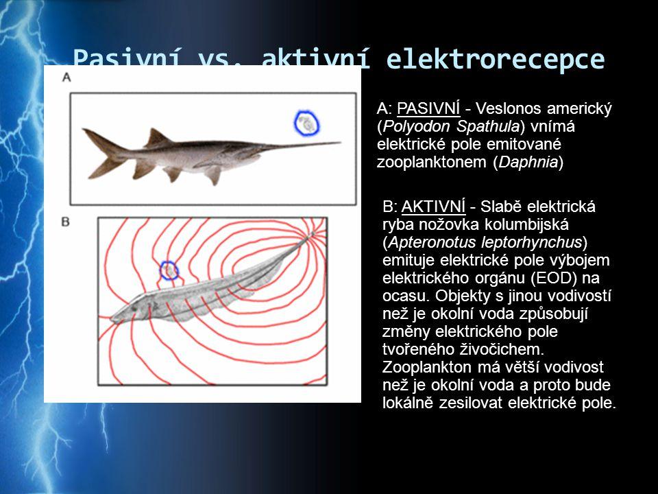 Pasivní vs. aktivní elektrorecepce A: PASIVNÍ - Veslonos americký (Polyodon Spathula) vnímá elektrické pole emitované zooplanktonem (Daphnia) B: AKTIV