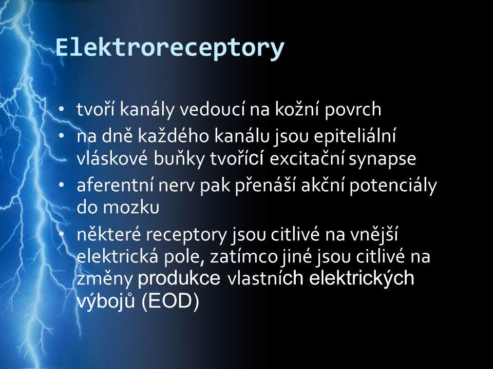 Elektroreceptory tvoří kanály vedoucí na kožní povrch na dně každého kanálu jsou epiteliální vláskové buňky tvoří cí excitační synapse aferentní nerv