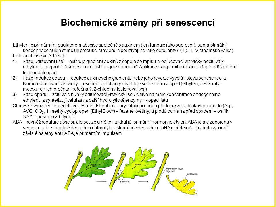 Biochemické změny při senescenci Ethylen je primárním regulátorem abscise společně s auxinem (ten funguje jako supresor), supraiptimální koncentrace auxin stimulují produkci ethylenu a používají se jako defolianty (2,4,5-T, Vietnamské válka) Listová abcise ve 3 fázích: 1)Fáze udržování listů – existuje gradient auxinů z čepele do řapíku a odlučovací vrstvičky necitlivá k ethylenu – neprobíhá senescence, list funguje normálně.