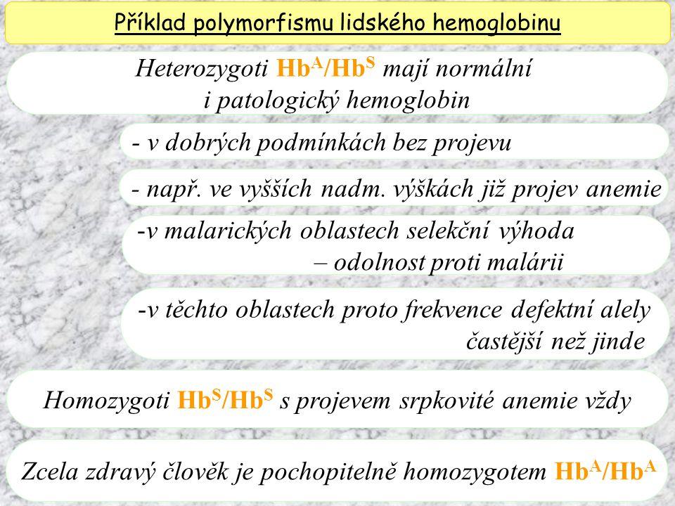 Heterozygoti Hb A /Hb S mají normální i patologický hemoglobin Příklad polymorfismu lidského hemoglobinu - v dobrých podmínkách bez projevu - např.
